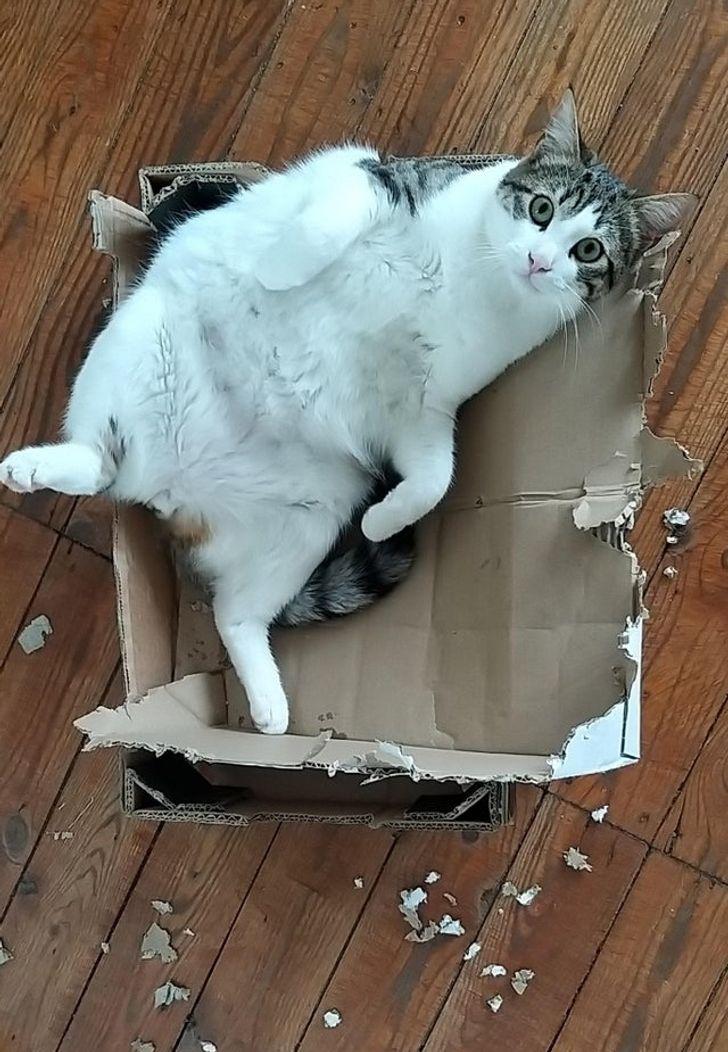 кот лежит в коробке