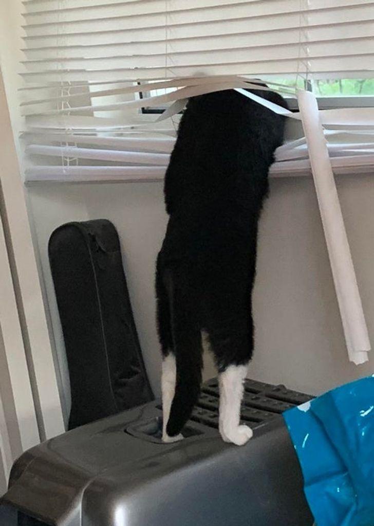 черно-белый кот торчит головой в жалюзи