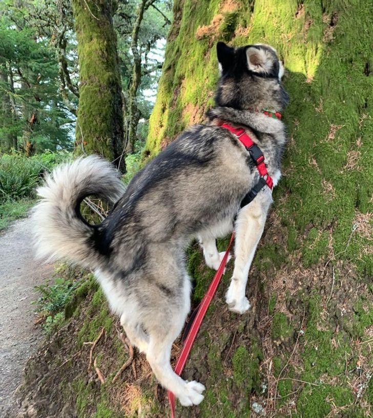 хаски уткнулся носом в дерево