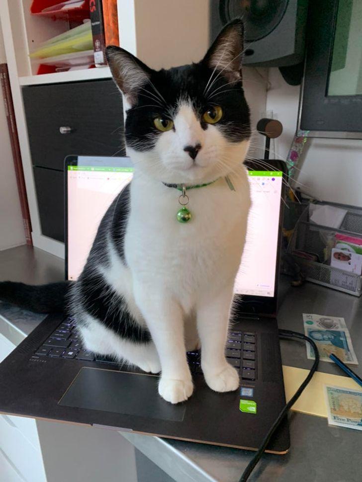 Черно-белый кот сидит на ноутбуке
