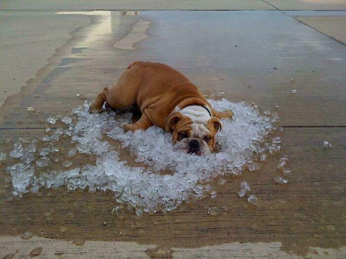 рыжий пес лежит на кубиках льда