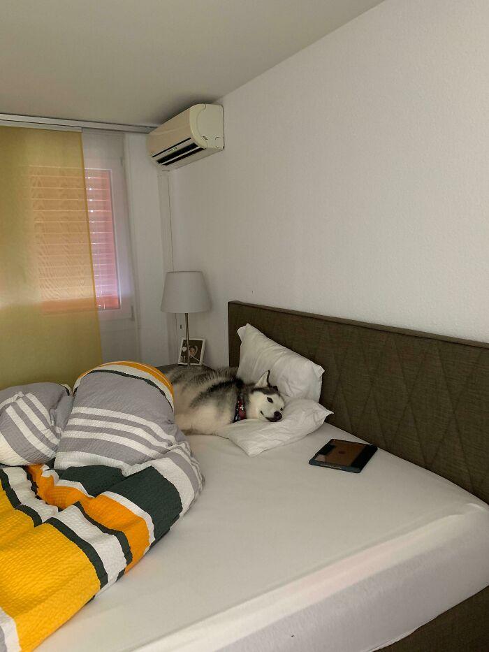 собака лежит в постели под кондиционером