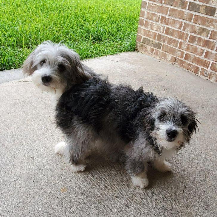 две серых собаки