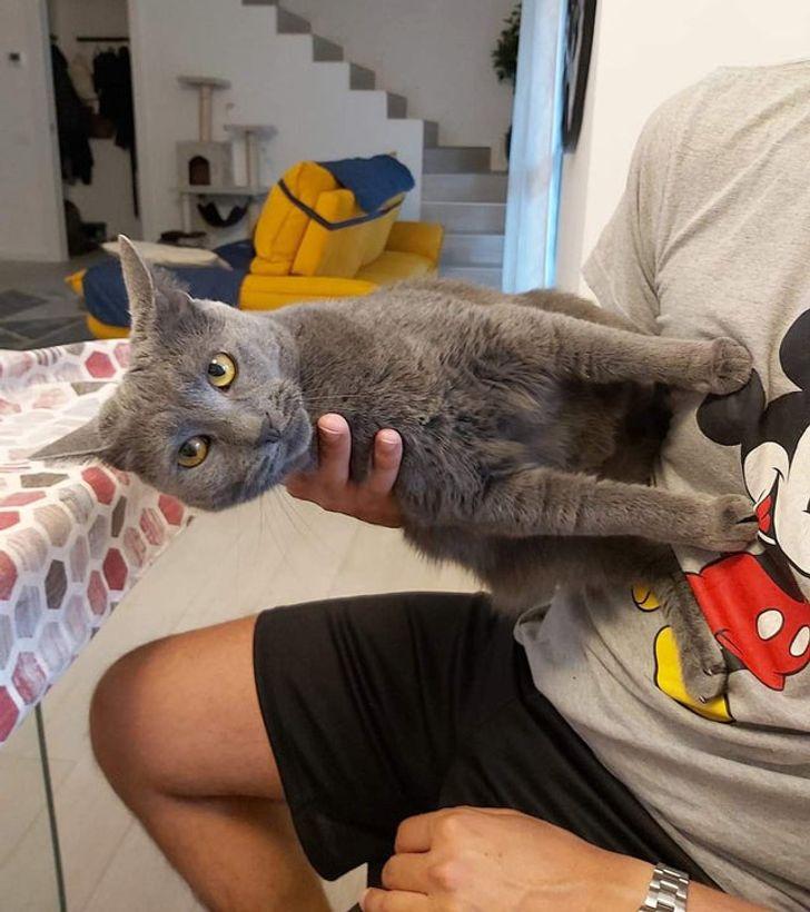 серый кот упирается лапами в живот хозяина
