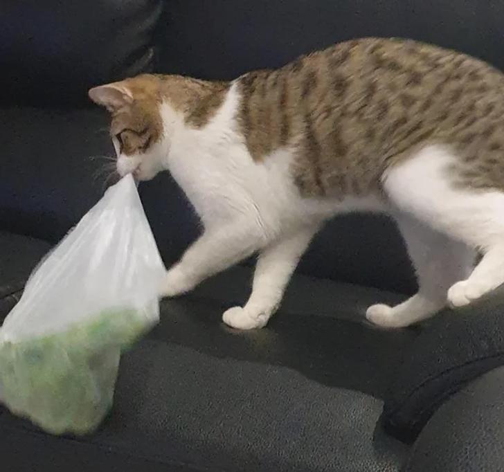 рыже-белый кот с пакетом в зубах