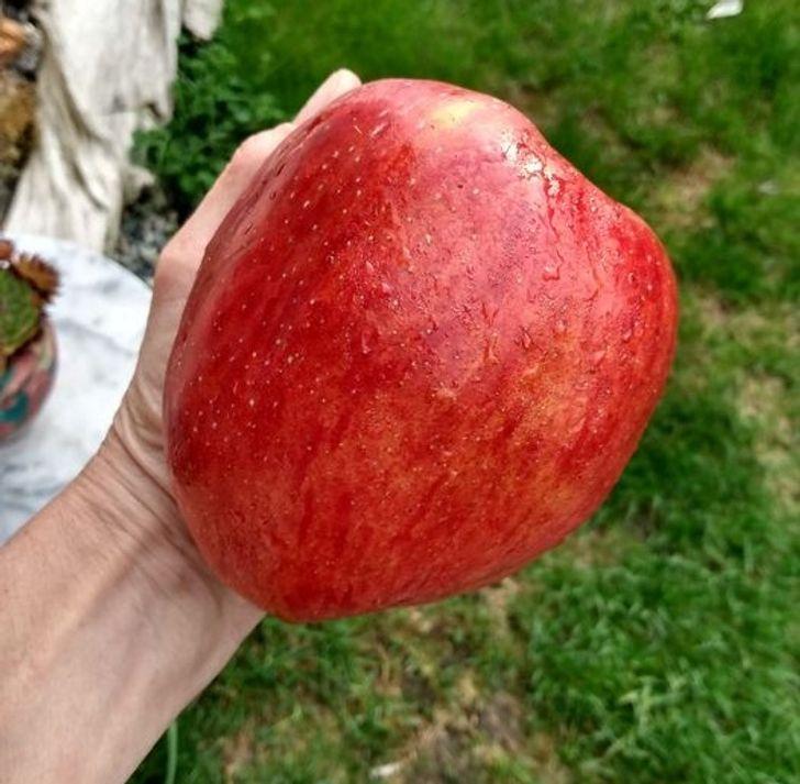 большое красное яблоко в руке
