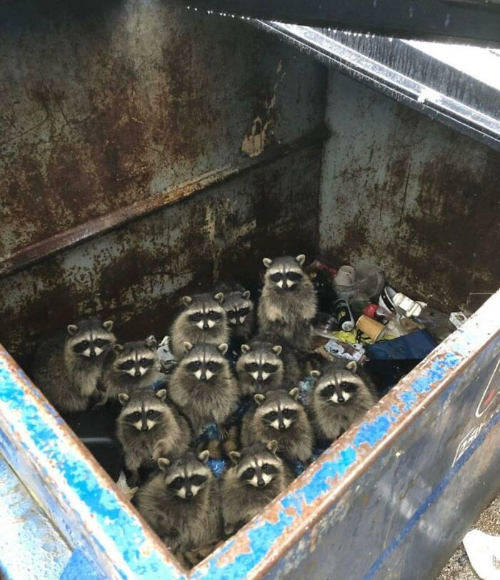 еноты сидят в мусорном баке