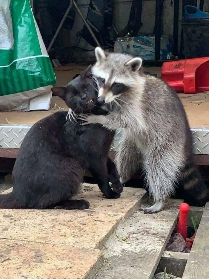 енот обнимает черного кота
