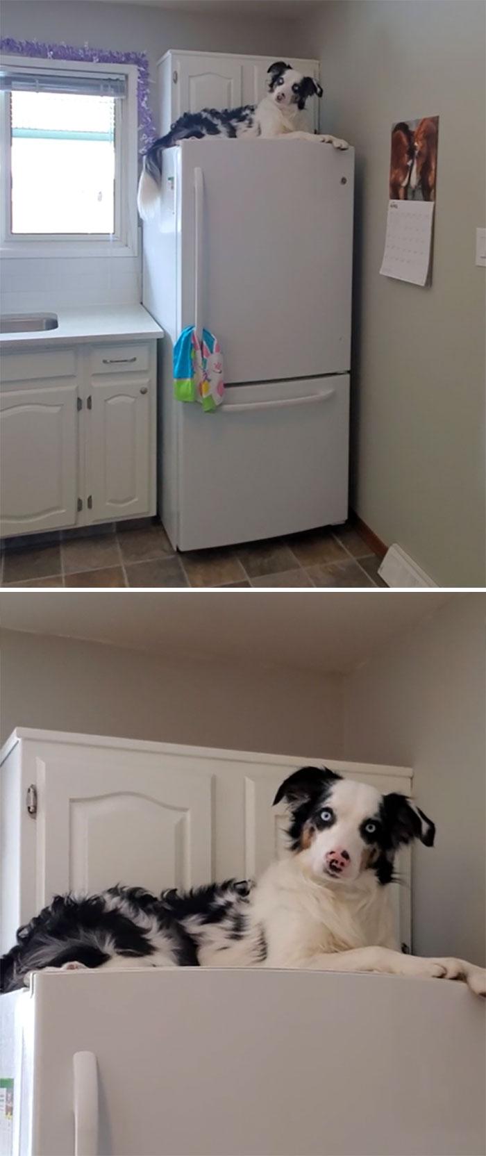 черно-белый пес лежит на холодильнике