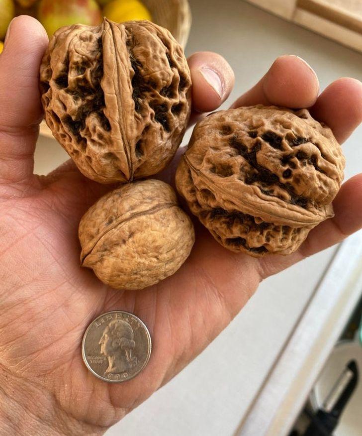 грецкие орехи на ладони