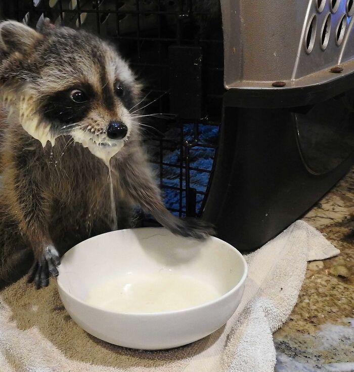 енот пьет молоко из тарелки