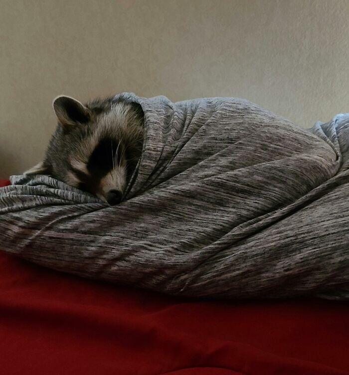 енот спит под одеялом