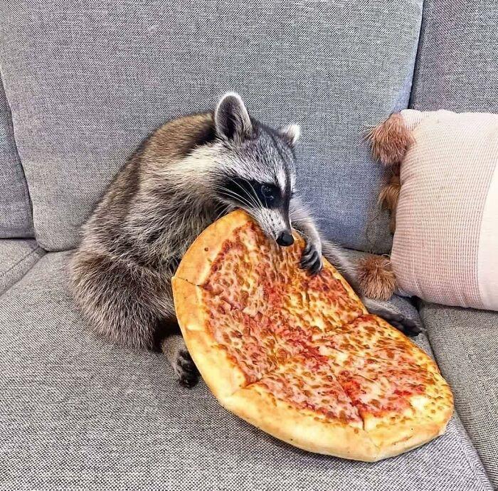 енот сидит на диване и ест пиццу