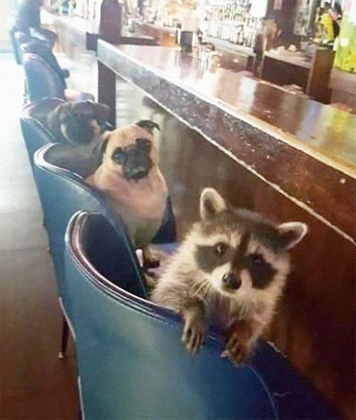 енот и собаки сидят за барной стойкой