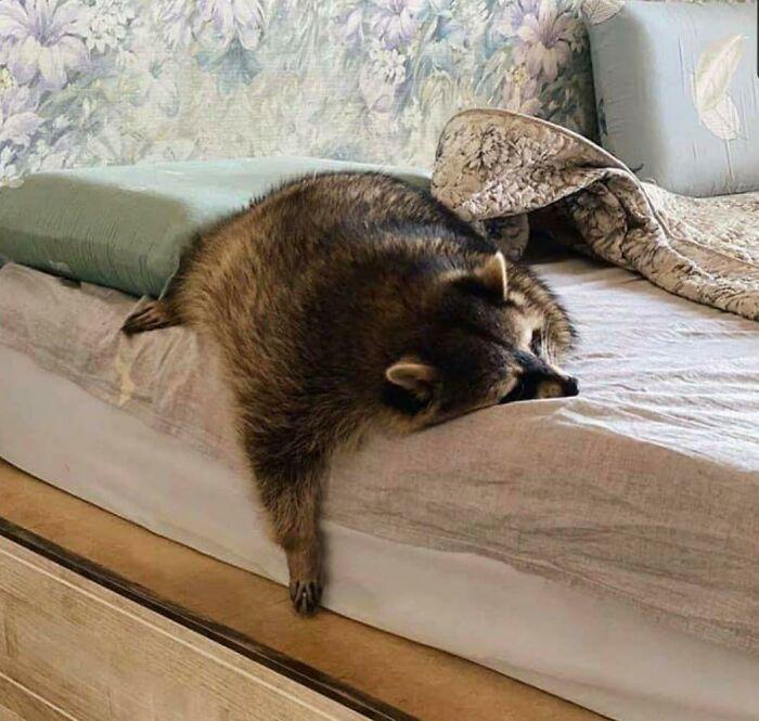енот спит на кровати
