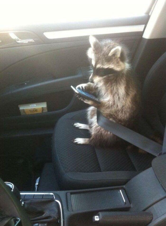 енот сидит с телефоном в машине