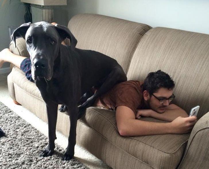 15 огромных собак, которые думают, что до сих пор помещаются на ручках