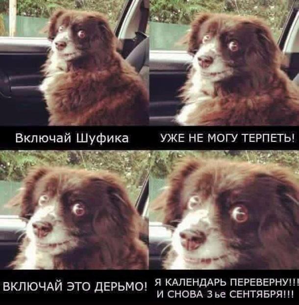 собака сидит в машине мем