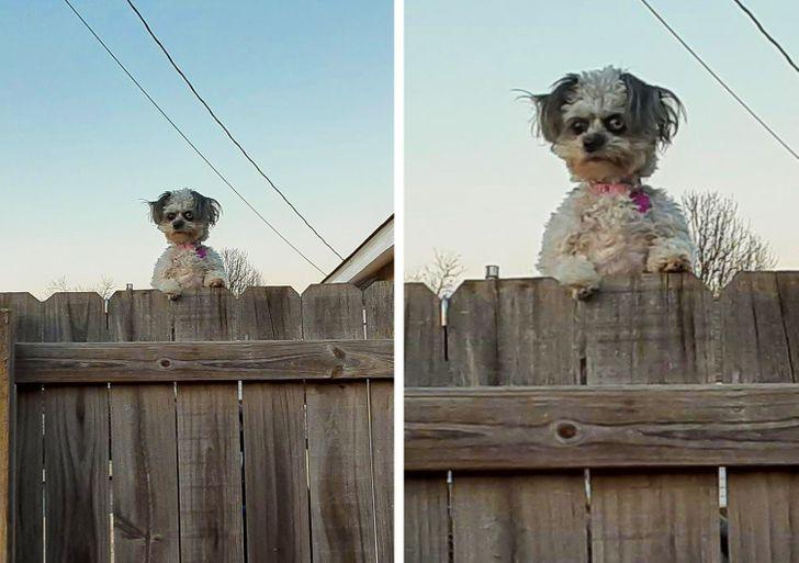 собака смотрит через забор