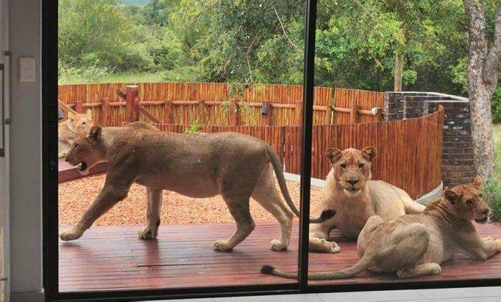 львицы за окном