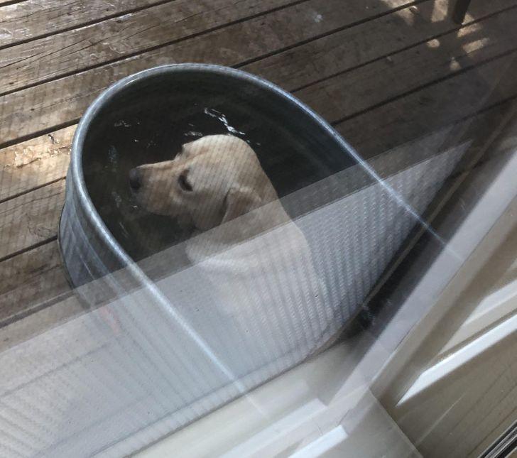 лабрадор лежит в корыте с водой