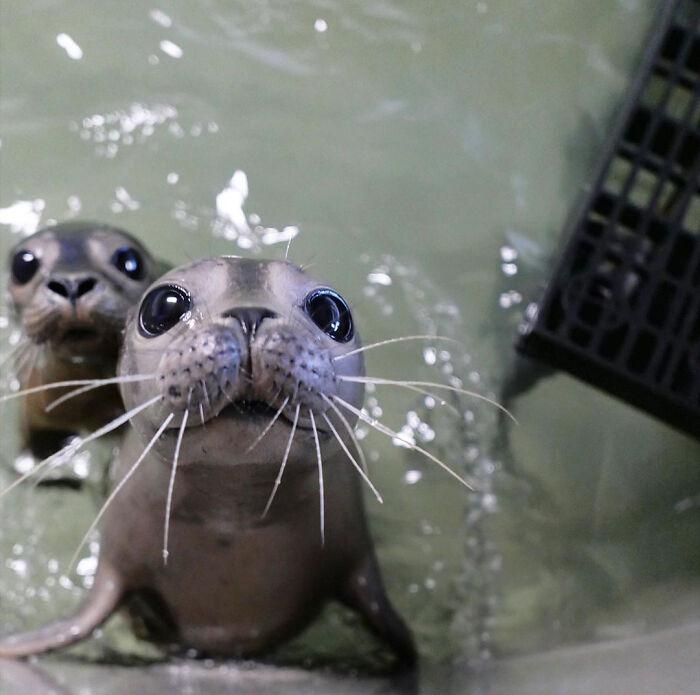 два детеныша морского котика