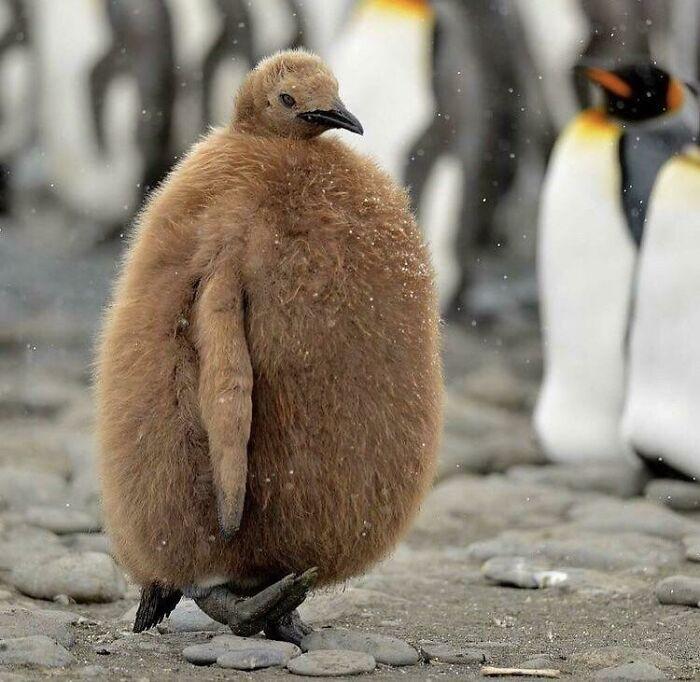 коричневый пингвиненок