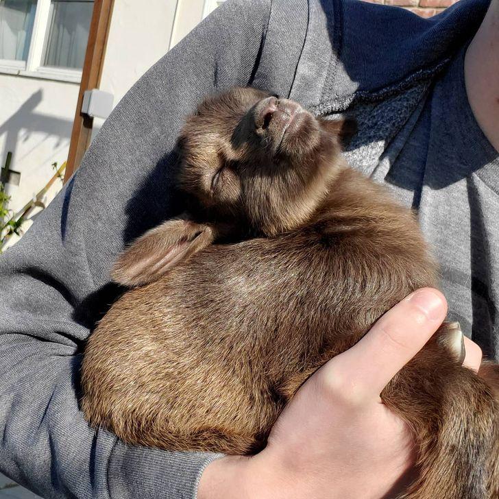 козленок спит на руках