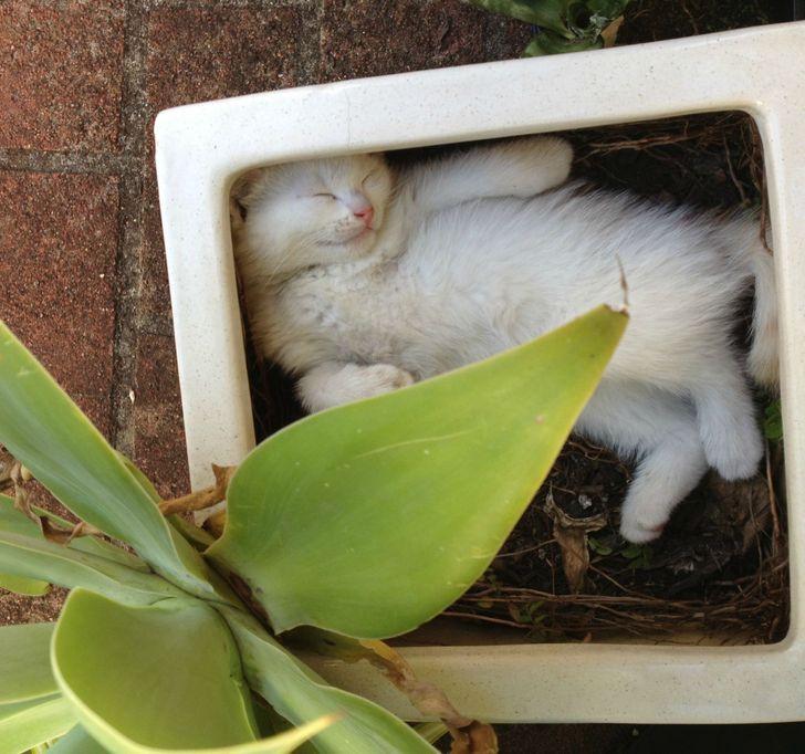 белая кошка спит в горшке