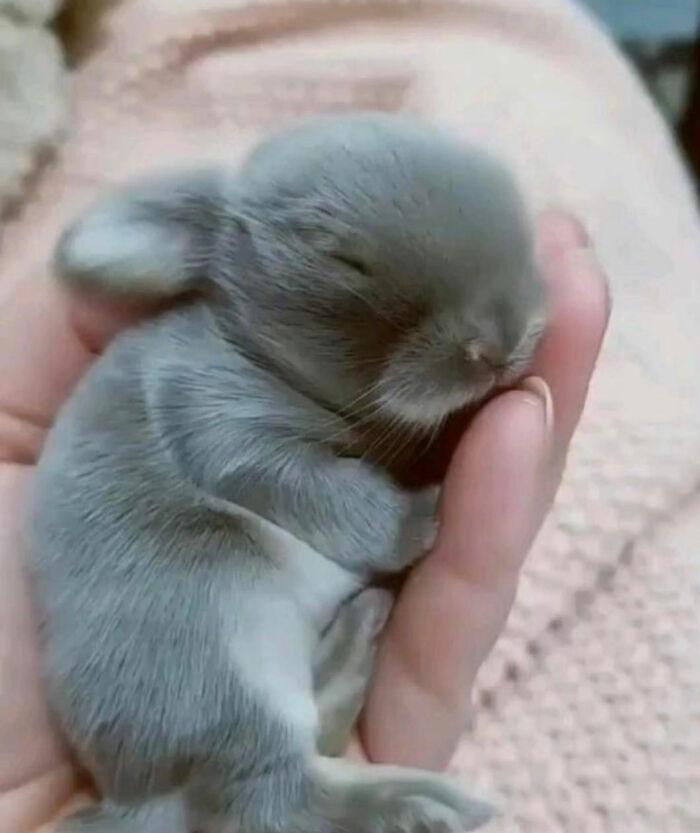 серый крольченок спит на ладони