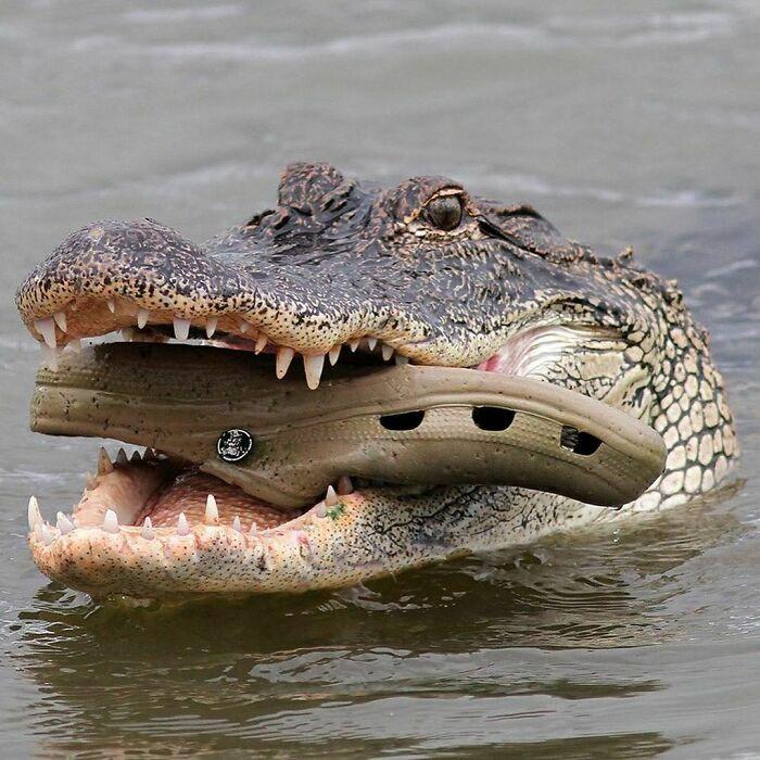 крокодил с кроксом во рту