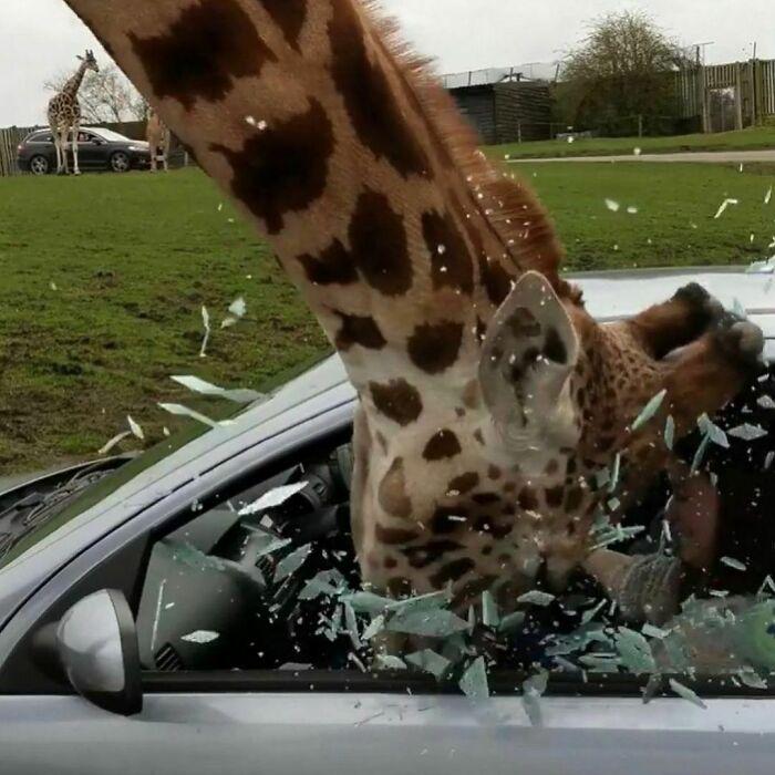 жираф разбил головой стекло в машине