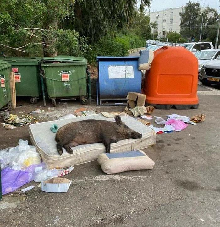кабан спит на матрасе возле мусорных баков