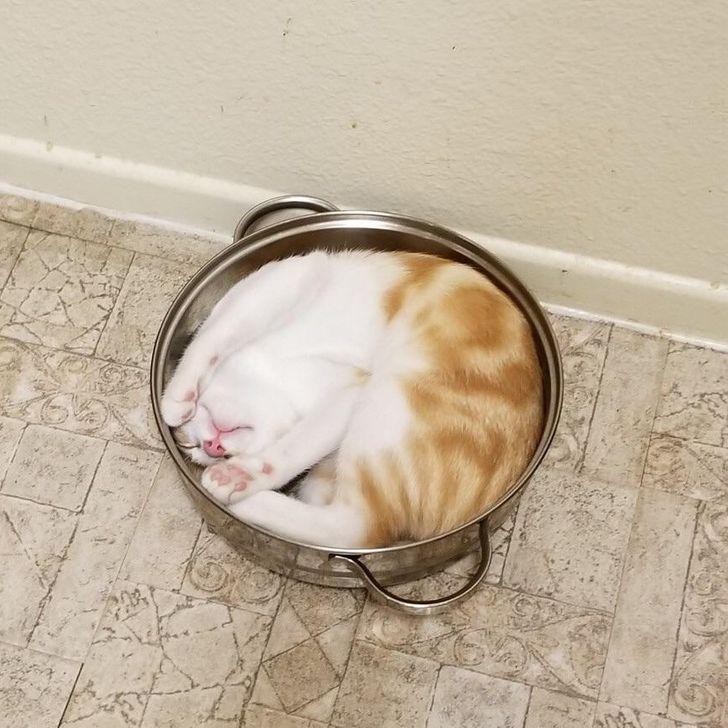 бело-рыжий кот спит в кастрюле