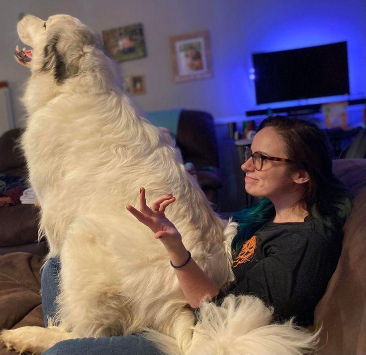 большой белый пес сидит на хозяйке