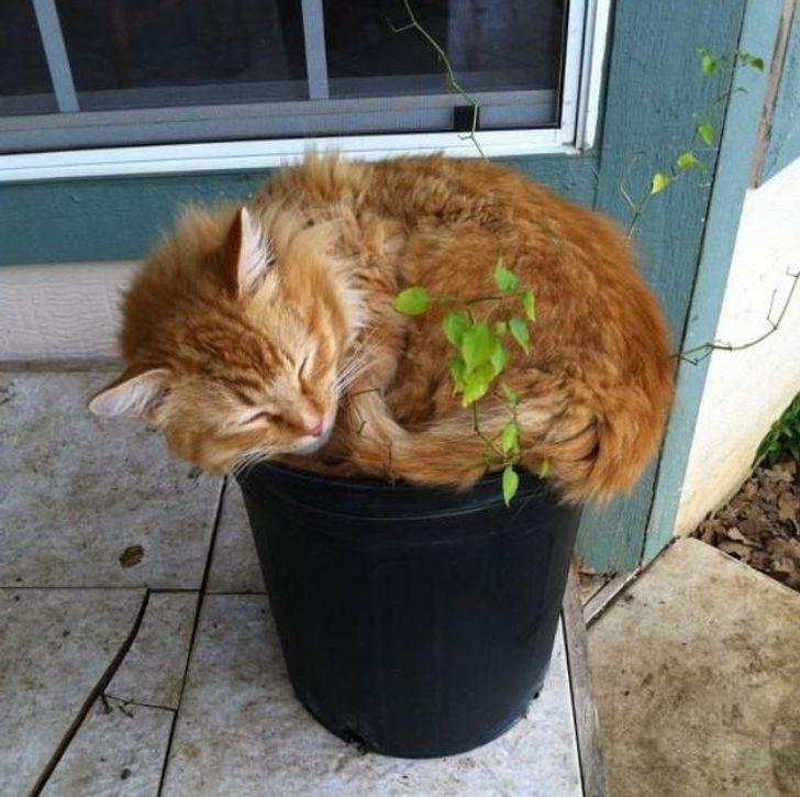 рыжий кот спит в цветочном горшке