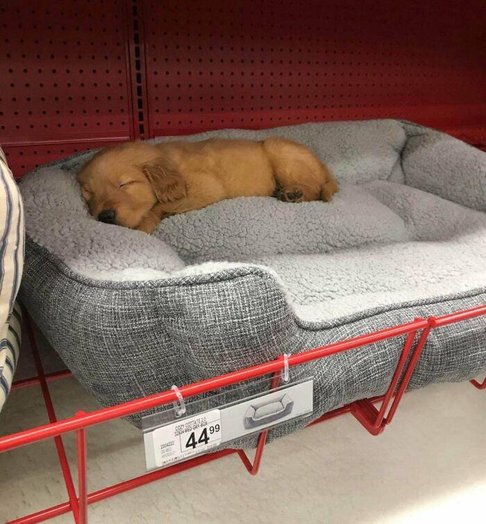рыжий щенок спит на подстилке в магазине