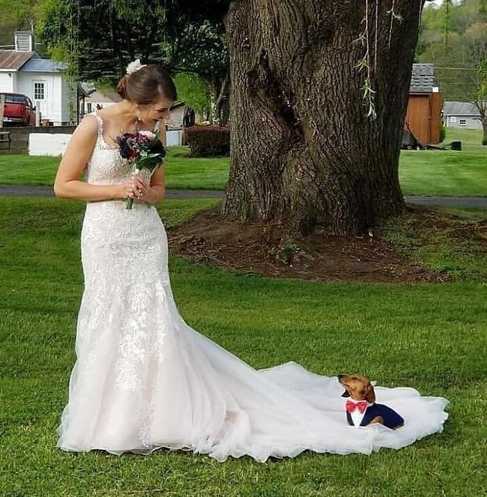 такса сидит на подоле платья невесты