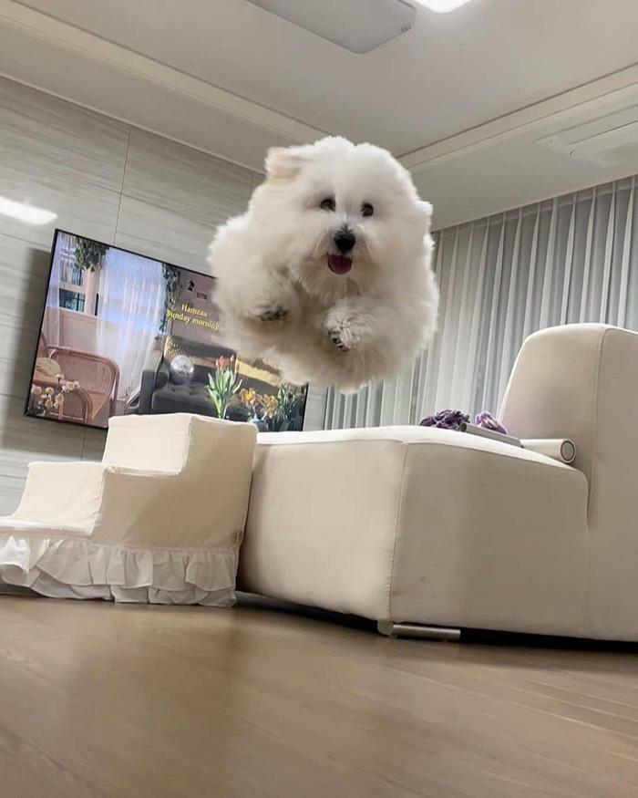 белая собака в прыжке